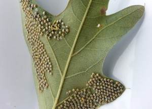Oak Worm Larva